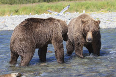 Brown bear showdown Stock Images