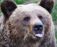 Brown bear showing its tongue. Portrait of a brown bear showing its tongue Royalty Free Stock Photography