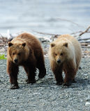 Brown Bear Siblings Stock Photos
