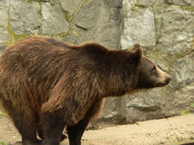 Brown bear side view. Brown bear looking for the food in the zoo (it was feeding time for animals in the zoo Stock Photo