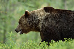 Brown bear side view Royalty Free Stock Photography