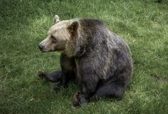 Brown bear sit on the grass stock photos