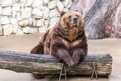 Brown bear sits relaxed Stock Photography
