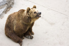 Brown bear sitting Stock Images