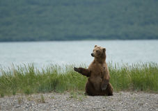Brown bear sitting on the beach Stock Images