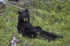 Brown Bear. Sitting and contemplating life Yellowstone National Park Stock Photo