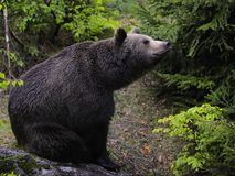 Brown Bear Sitting in Forest Royalty Free Stock Photography