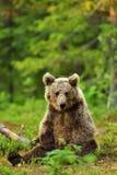 Brown bear sitting Royalty Free Stock Photos