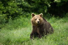 Brown bear sitting Royalty Free Stock Photo