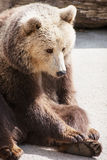Brown bear sitting on the ground Stock Images