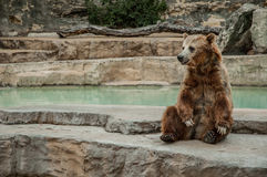 Brown Bear Sitting Stock Photography