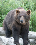 Brown Bear. A brown bear sitting on a log Royalty Free Stock Photo
