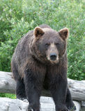 Brown Bear. A brown bear sitting on a log Stock Images