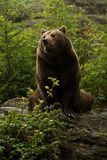 Brown bear sitting on rock. In Bayerischer wald Royalty Free Stock Photography
