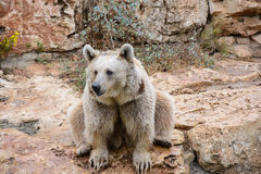 Brown bear sitting on the rock Stock Photos