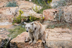 Brown bear sitting on the rock Stock Images