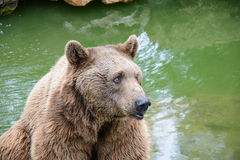 Brown bear sitting on the rock Stock Photo