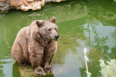 Brown bear sitting on the rock, rainy day Stock Photos