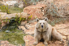 Brown bear sitting on the rock, rainy day Stock Image