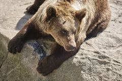 Brown bear sitting on a rock. Wildlife environment. Animal. Background Royalty Free Stock Image
