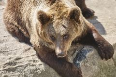 Brown bear sitting on a rock. Wildlife environment. Animal. Background Stock Photo