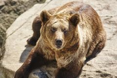 Brown bear sitting on a rock. Wildlife environment. Animal. Background Royalty Free Stock Photography