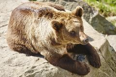 Brown bear sitting on a rock. Wildlife environment. Animal. Background Stock Images