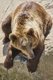 Brown bear sitting on a rock. Wildlife environment. Zoo. Brown bear sitting on a rock. Wildlife environment. Animal background Stock Image