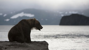 Brown bear is sitting on the shore of lake Stock Images