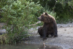 Brown bear is sitting at a stream. Brown bear is sitting on the edge of the stream Stock Photography
