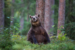 Brown bear sitting upright in Finnish forest. A high resolution image of a brown bear in a tiaga forest Stock Photos