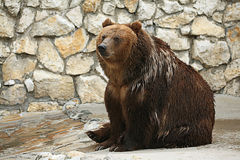 Brown bear sitting Royalty Free Stock Images