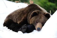 Brown bear are sleep in snow. Winterend, ursua arctos Stock Photography