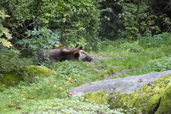 Brown bear sleeping Royalty Free Stock Image