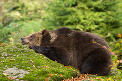 Brown Bear sleeping in the Bavarian forest on a rock.