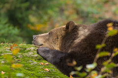 Brown Bear sleeping in the Bavarian forest on a rock. Stock Images