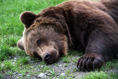 Brown bear. Sleeping Brown bear  in the gras Royalty Free Stock Photos