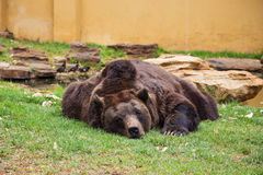 Brown Bear Sleeping Royalty Free Stock Photos