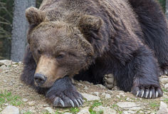 Brown bear sleeping on the ground close-up Royalty Free Stock Photography