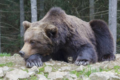 Brown bear sleeping on the ground close-up Royalty Free Stock Photos