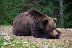 Brown bear sleeping on the ground Stock Images