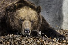 Brown bear sleeping in leaves in the zoo of Hamburg stock photography