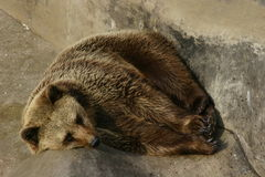 Brown bear. Sleeping on a rock Stock Photo