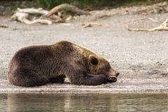 Brown bear sleeping sweetly on the shore of Kurile Lake. Stock Images