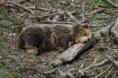 Brown bear sleeping Stock Photo