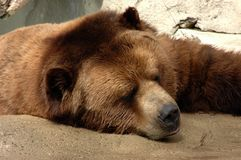 Brown bear sleeping at zoo Royalty Free Stock Photo