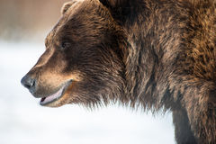 Brown Bear smiling Stock Image