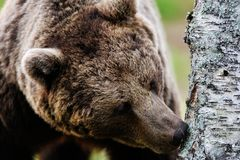Brown bear sniffing Royalty Free Stock Photo