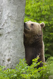 Brown bear sniffing Stock Photos