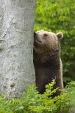 Brown bear sniffing Stock Photos
